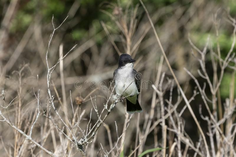 Eastern kingbird Tyrannus tyrannus sitting on a branch of a bush. Eastern kingbird in nesting area,nature scene from Wisconsin royalty free stock images