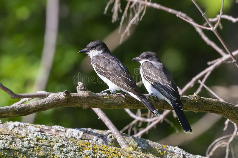 The eastern kingbird Tyrannus tyrannus. Near nestin area royalty free stock image