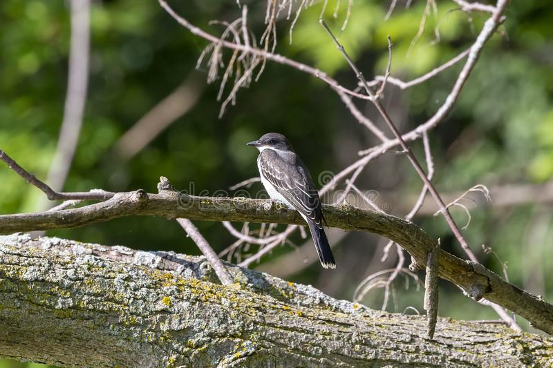 The eastern kingbird Tyrannus tyrannus. Near nestin area royalty free stock images