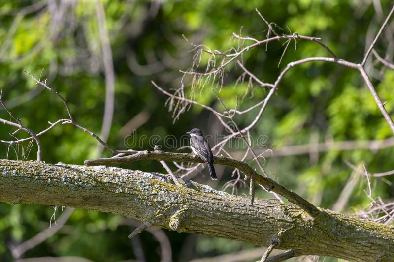 The eastern kingbird Tyrannus tyrannus. Near nestin area stock photography