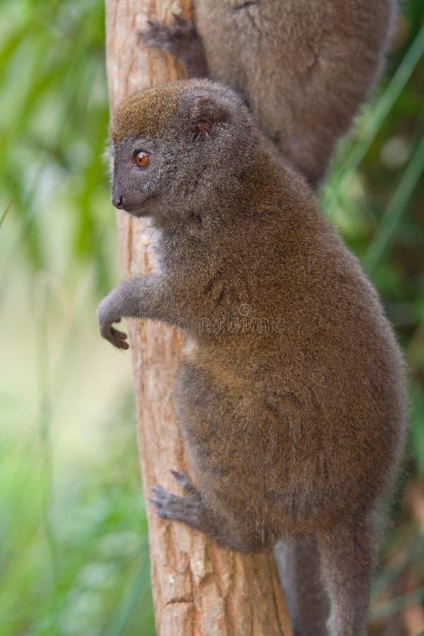 Eastern Lesser Bamboo Lemur stock photo