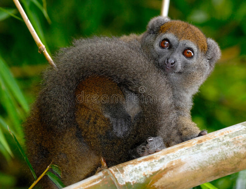 Eastern Lesser Bamboo Lemur royalty free stock photos