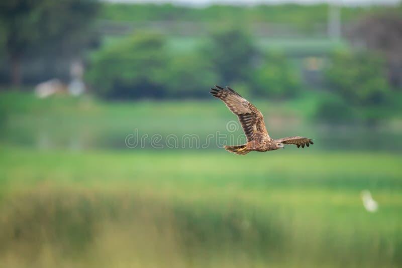 Eastern Marsh Harrier in Hong Kong Formal Name: Zirkus-Spilonotus lizenzfreie stockfotos