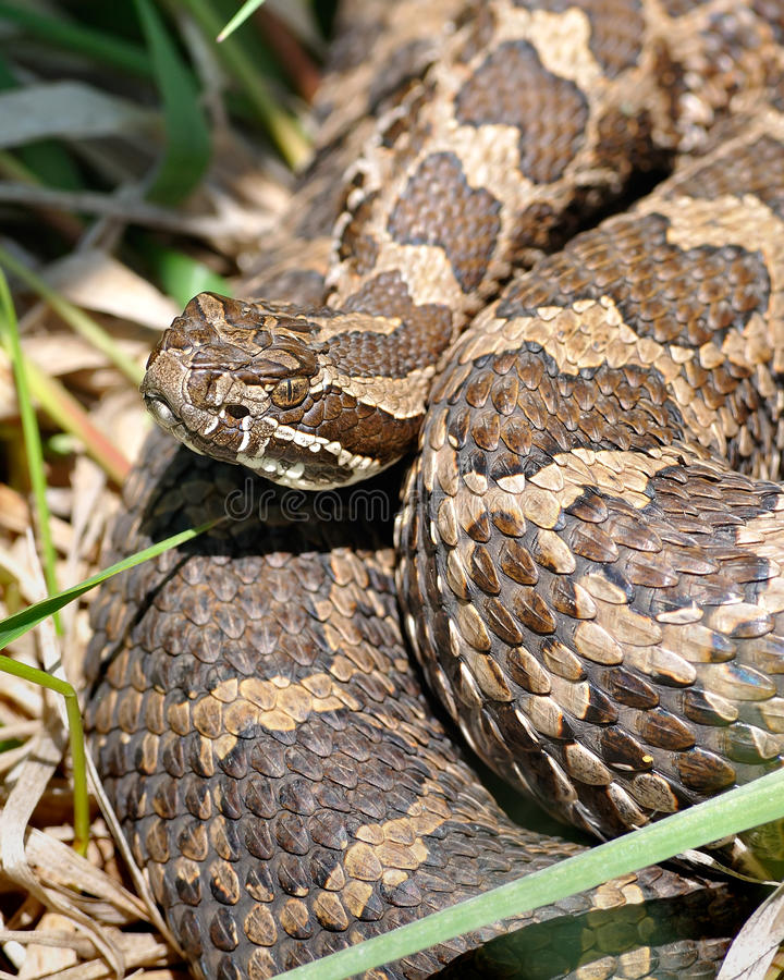 Download Eastern Massasauga Rattlesnake Stock Photo - Image: 9745226