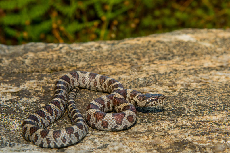 Eastern Milk Snake Stock Images - Download 42 Royalty Free ...