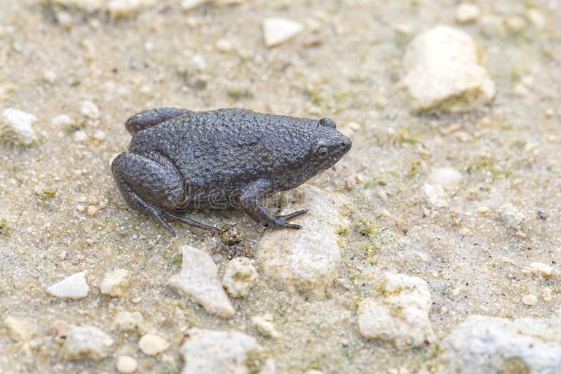 Eastern Narrow-mouthed Toad. An Eastern Narrow-mouthed toad on sandy grounds royalty free stock photo