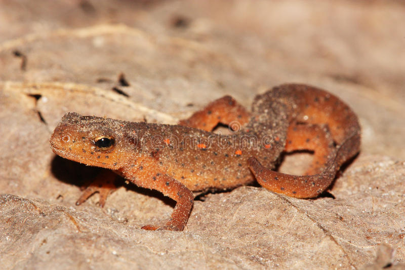 Eastern Newt (Notophthalmus viridescens) royalty free stock photography