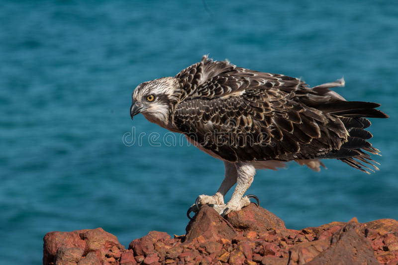 Download Eastern Osprey stock photo. Image of juvenile, close - 78234030