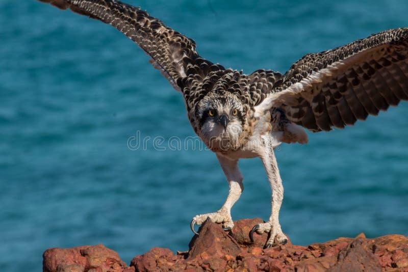 Download Eastern Osprey stock image. Image of prey, behavior, juvenile - 78234083