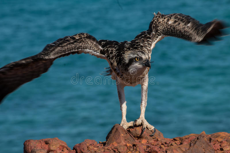 Download Eastern Osprey stock photo. Image of perched, tame, osprey - 78234094