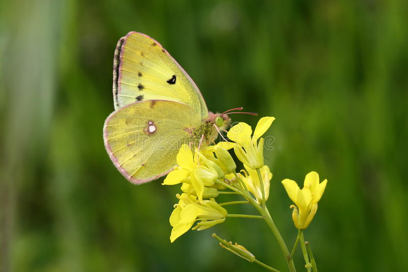 Download Eastern Pale Clouded Yellow Stock Photo - Image: 31026374