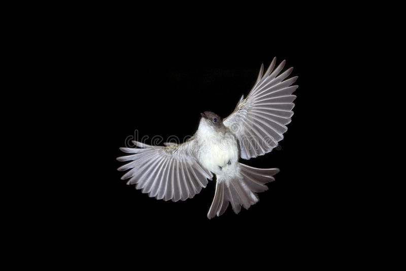 The eastern phoebe flying. royalty free stock photo