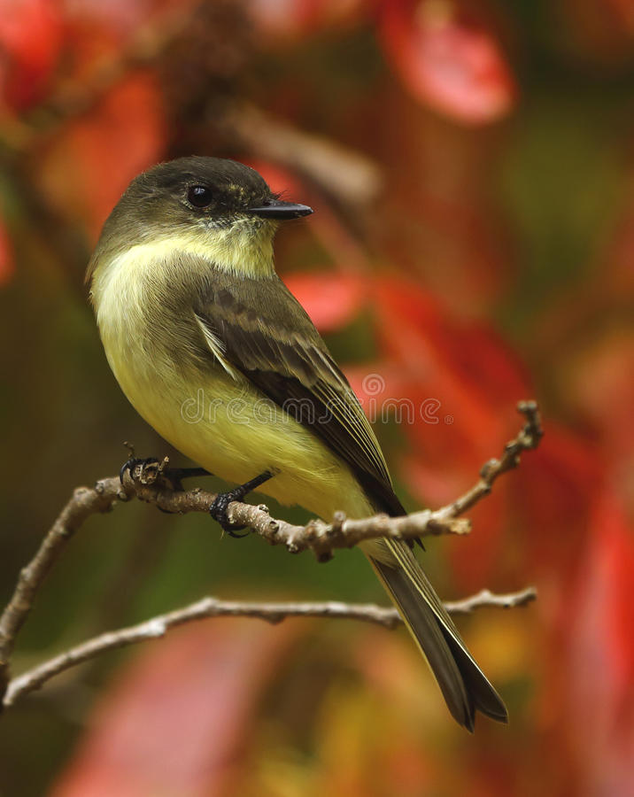 Eastern Phoebe. Perched on branch stock photography