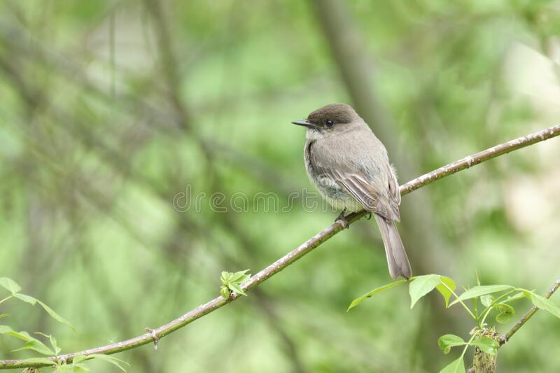 Eastern Phoebe Perched stock photography