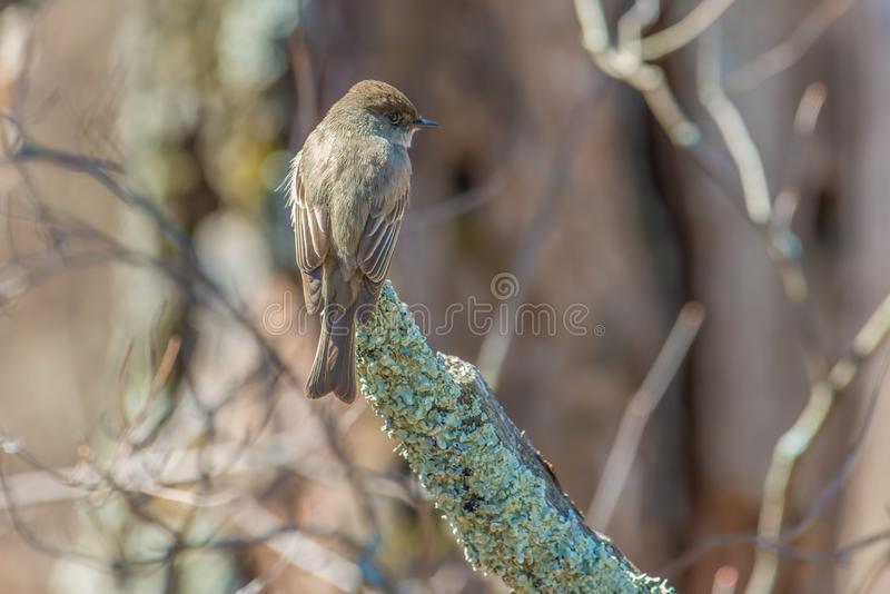 Eastern phoebe portrait in the Crex Meadows Wildlife Area in Northern Wisconsin.  royalty free stock photography