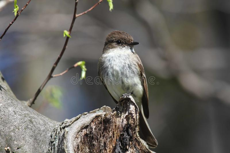 Download Eastern Phoebe stock photo. Image of passeriformes, background - 40588614