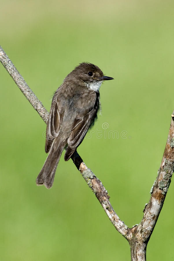 Download Eastern Phoebe (Sayornis Phoebe) Stock Image - Image: 25436711