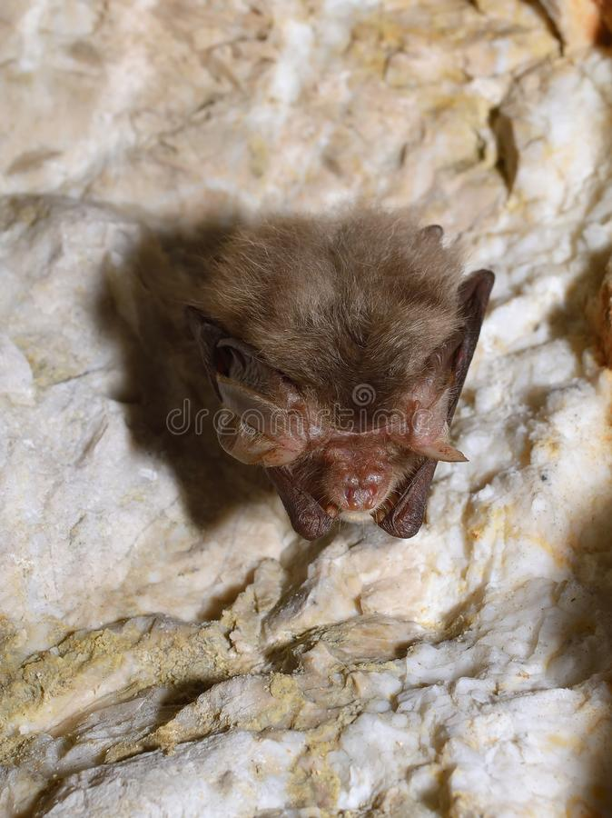 Eastern pipistrelle bat (Pipistrellus subflavus). In cave royalty free stock photography