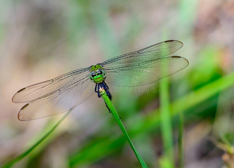 Eastern Pondhawk Dragonfly Erythemis simplicicollis. Facing forward. Clear vivid eyes. Wings spread royalty free stock image