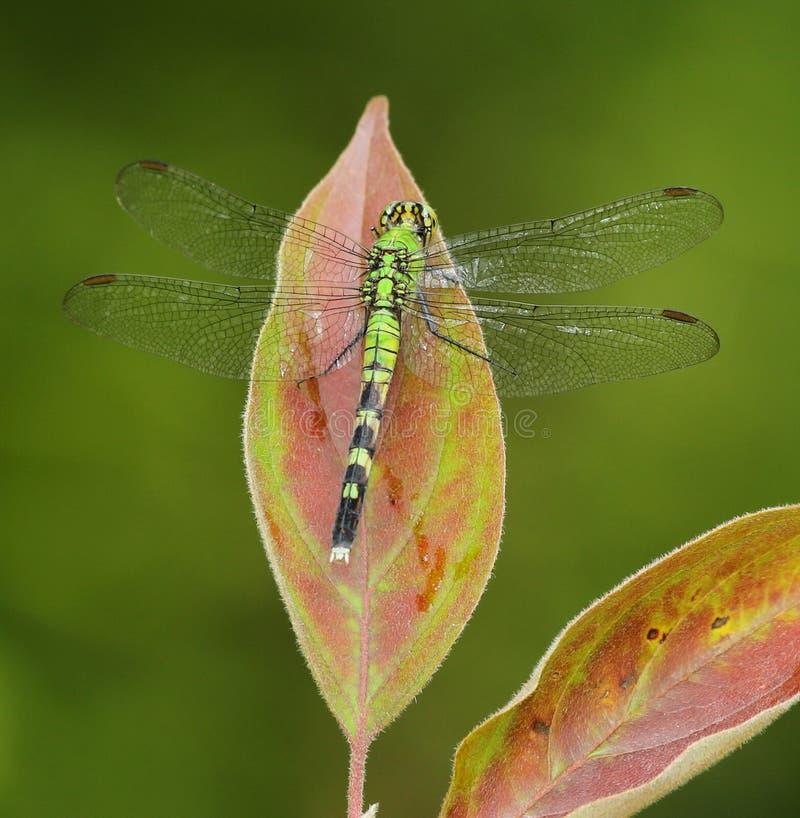Eastern Pondhawk Dragonfly royalty free stock photos