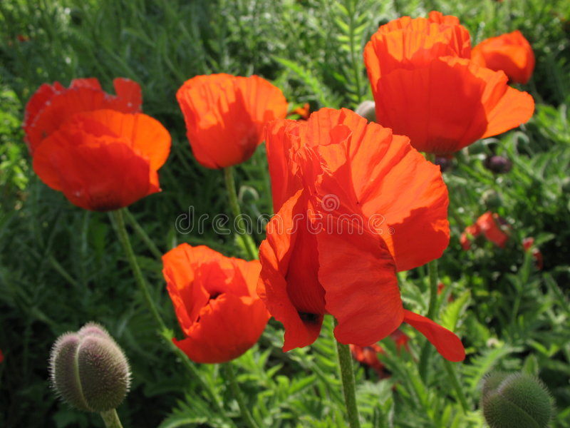 Download The eastern poppy stock image. Image of fairy, oriental - 5602599