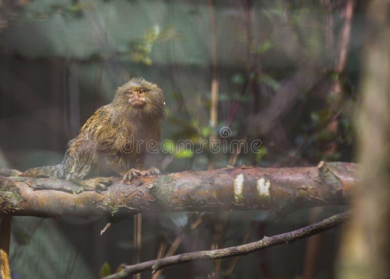 Eastern Pygmy Marmoset (Cebuella pygmaea). Spotted outdoors royalty free stock images