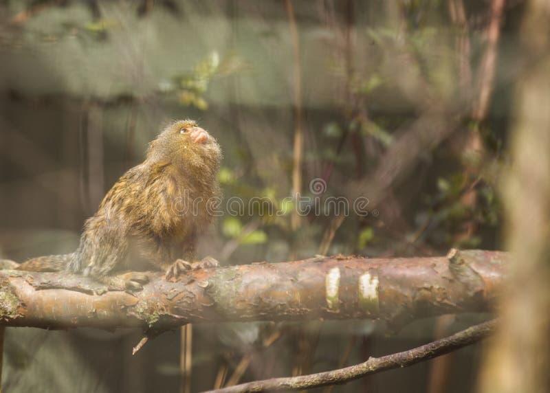 Eastern Pygmy Marmoset (Cebuella pygmaea). Spotted outdoors stock image