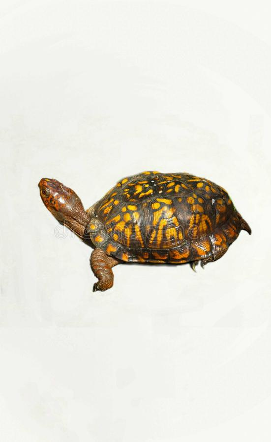Eastern Box Turtle Isolated On A White Background. Eastern Red Box Turtle With bright green, red and yellow shell pattern on white background royalty free stock images