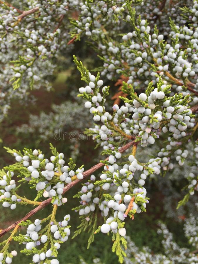 Eastern Red Cedar royalty free stock images