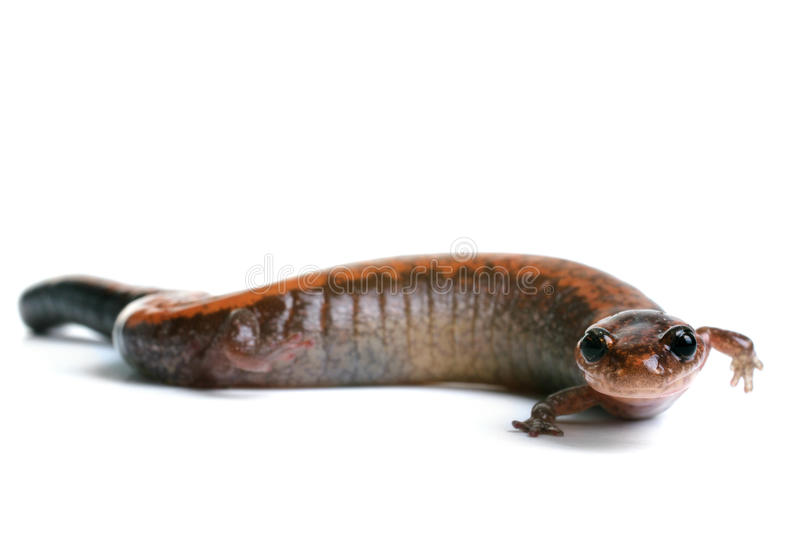 Eastern Redback Salamander. On a white background stock photo