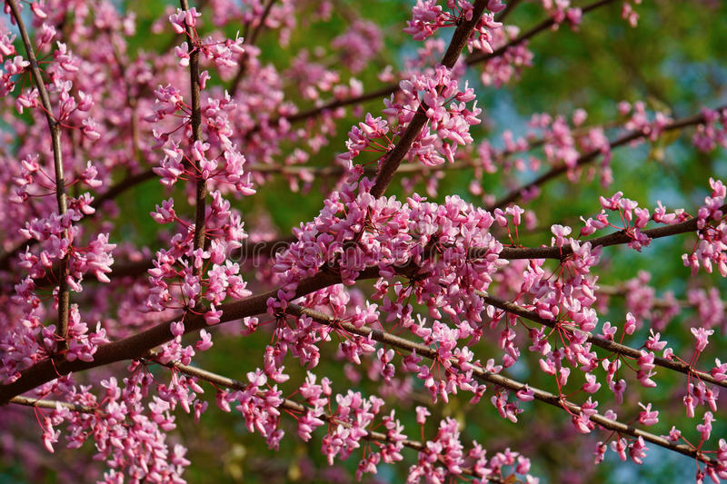 Eastern redbud in blossom stock photography