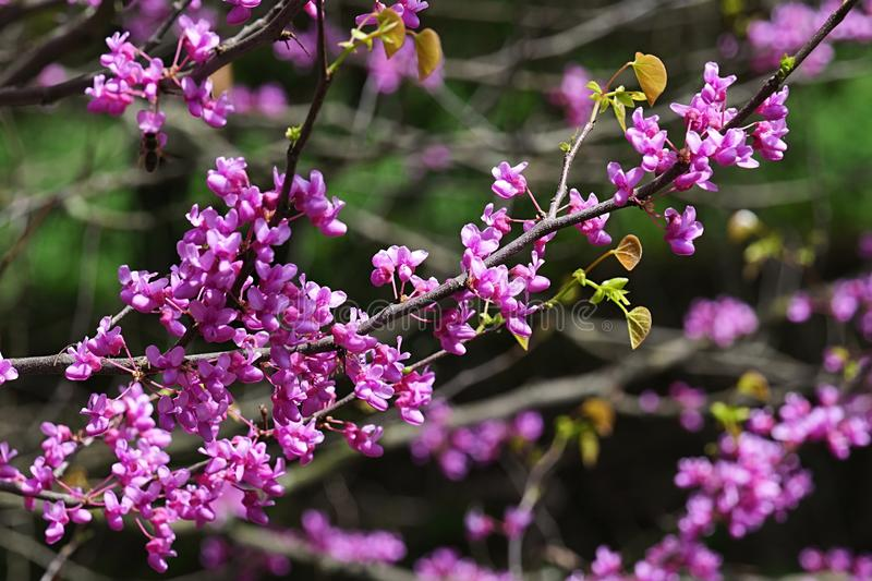 Eastern Redbud, latin name Cercis Canadensis, magenta pink flowers during spring season in early may, sunbathing in afternoon suns. Hine.Shot taken in botanical stock photo
