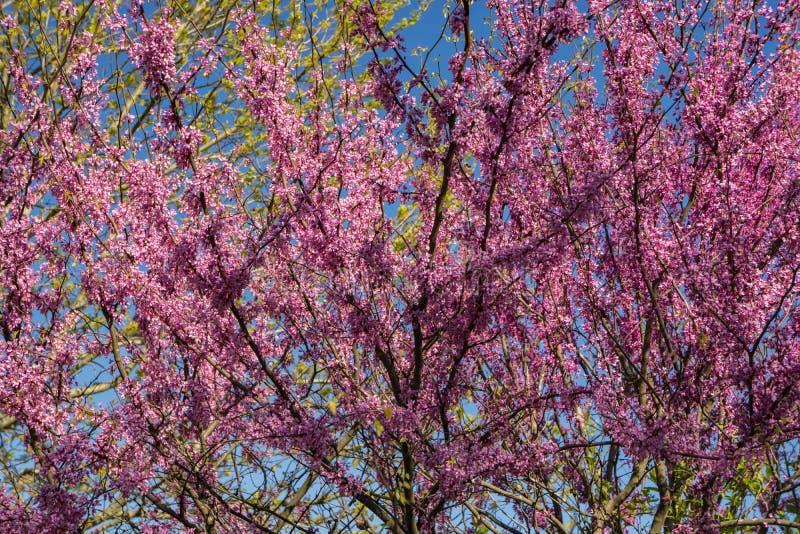 Eastern Redbud Tree stock photos