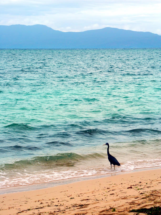 Download Eastern Reef Egret (Ardea Sacra) Stock Image - Image of outdoors, creature: 43111189