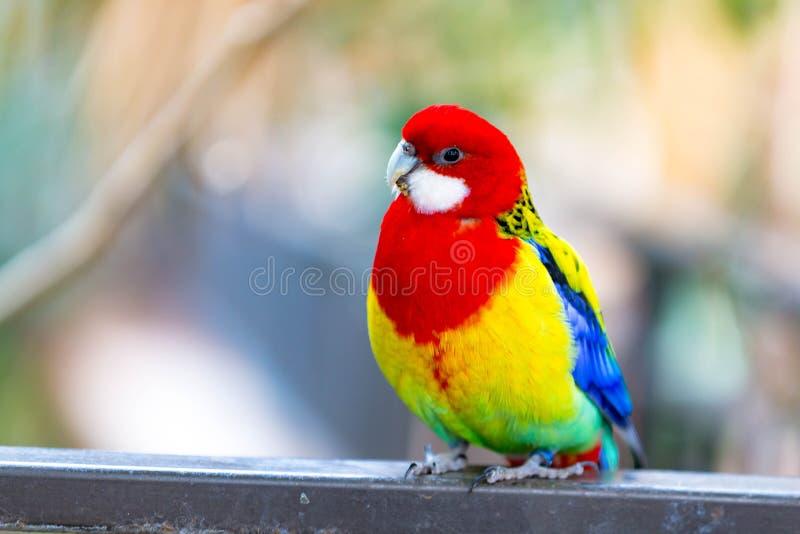 Eastern Rosella. A colorful Eastern Rosella bird stock image