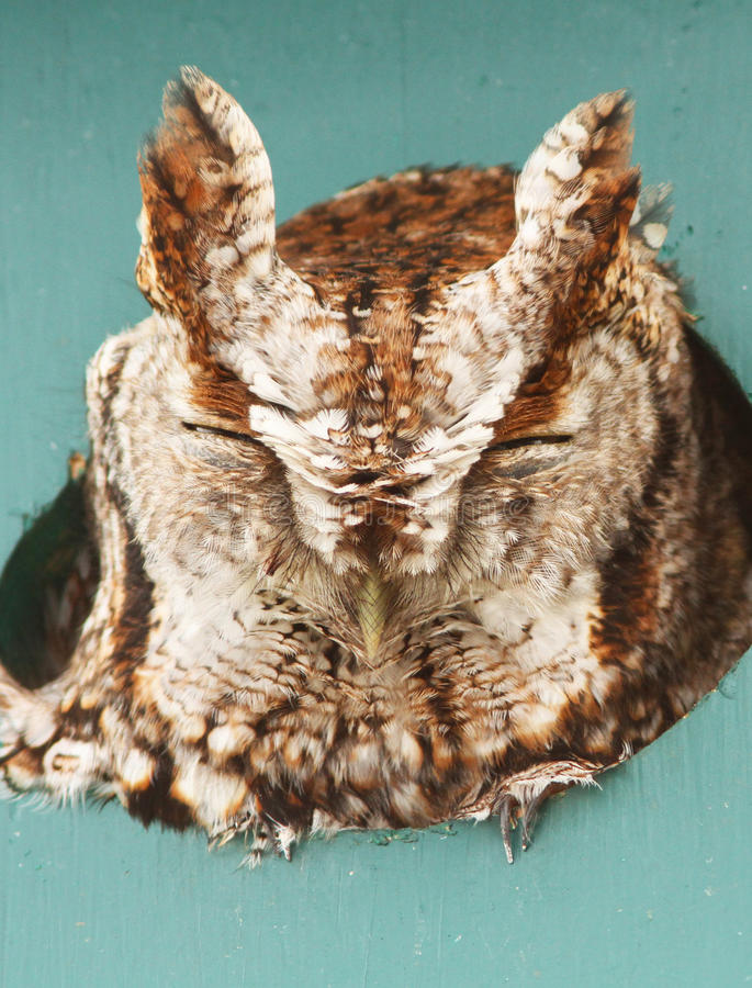 Download Eastern Screech Owl Royalty Free Stock Photo - Image: 23841585