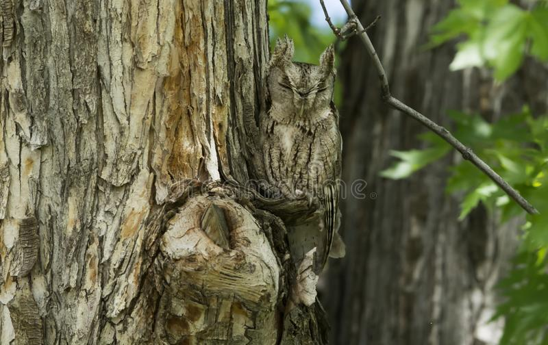 Eastern Screech Owl becomes one with the tree. stock photography