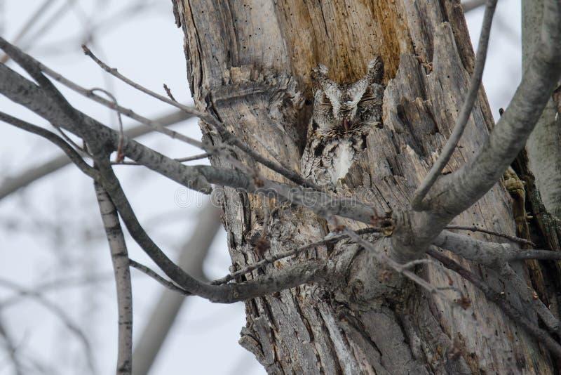 Download Eastern Screech Owl stock image. Image of hooter, beak - 109575199