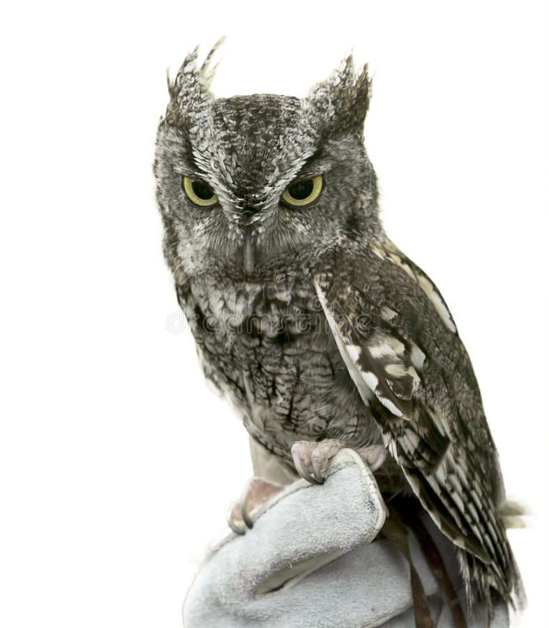 Eastern Screech Owl Isolated. Eastern Screech Owl are found wherever trees are, and theyre even willing to nest in backyard nest boxes. These supremely royalty free stock photo