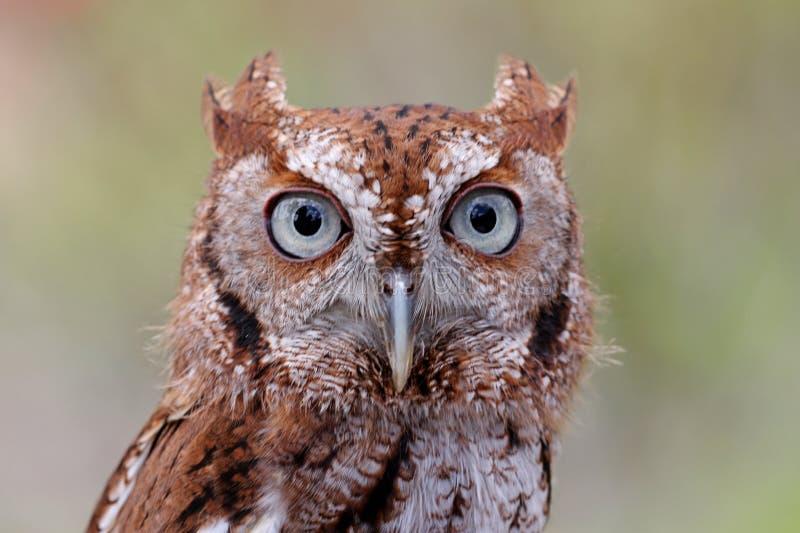 Eastern Screech-Owl (Megascops asio) stock image