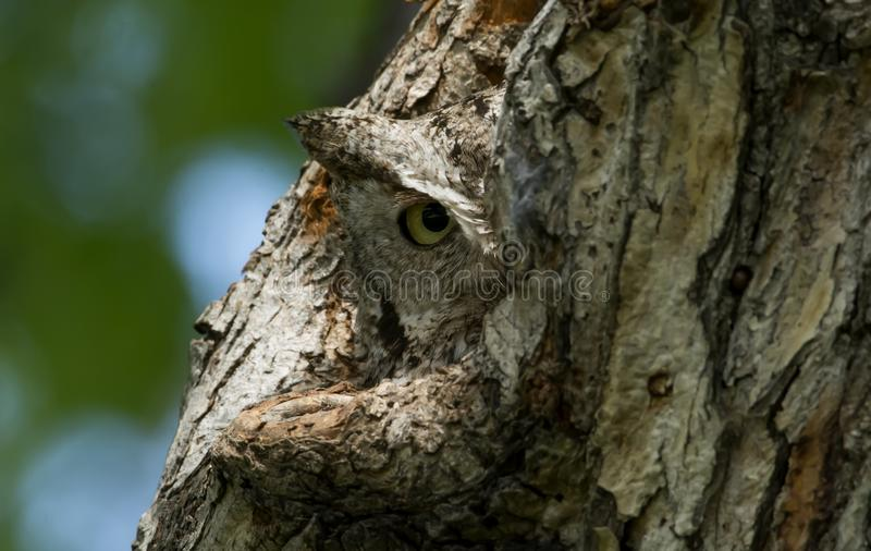 Eastern Screech Owl peeking from nest stock image