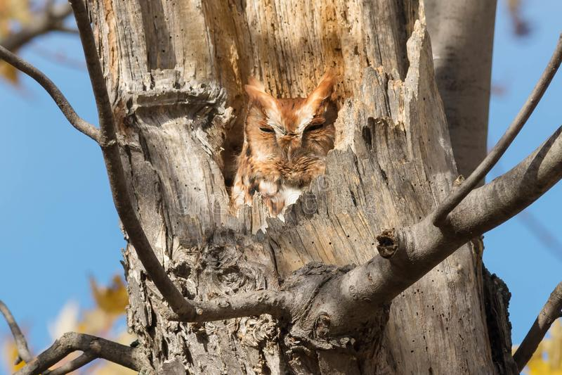 Download Eastern Screech Owl stock image. Image of environmental - 109593457