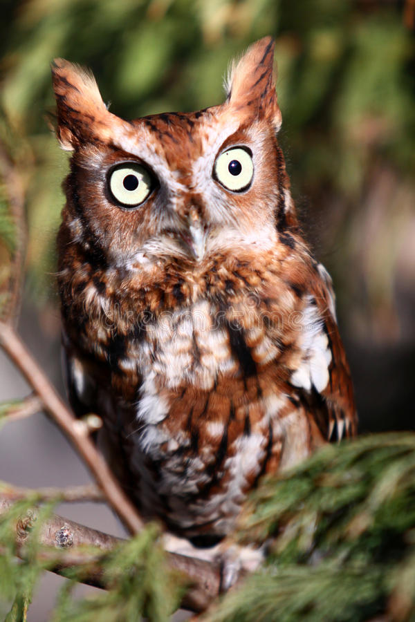 Eastern Screech Owl - Red Phase stock photography