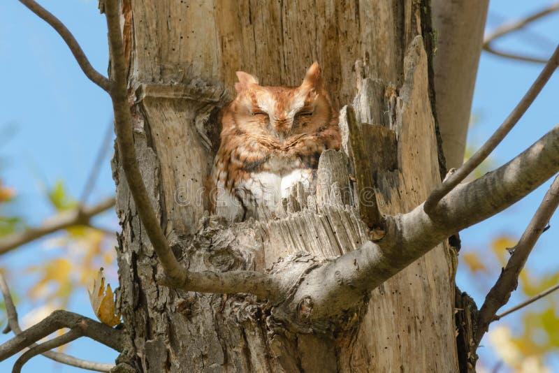 Download Eastern Screech Owl stock photo. Image of organism, ornithology - 109593408