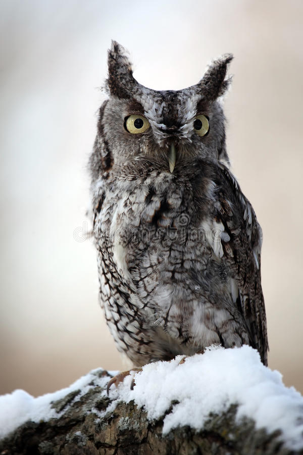 Eastern Screech Owl & Snow royalty free stock photo