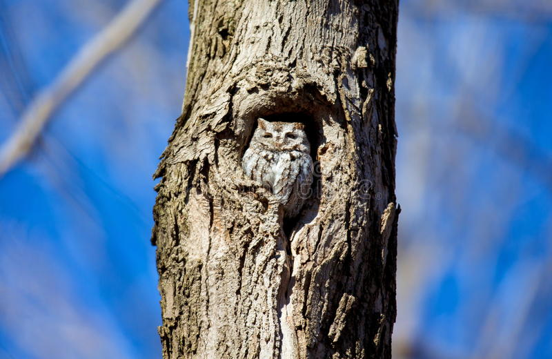 Eastern Screech Owl. This species is native to most wooded environments of its distribution and has adapted well to manmade development, although it frequently stock images