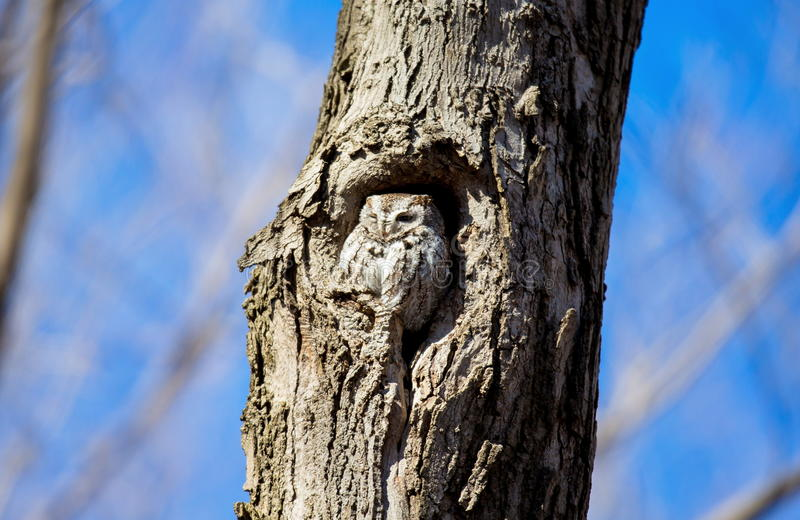 Eastern Screech Owl. This species is native to most wooded environments of its distribution and has adapted well to manmade development, although it frequently stock photography