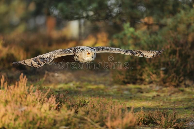Eastern Siberian Eagle Owl, Bubo bubo sibiricus, flying through forest royalty free stock photo