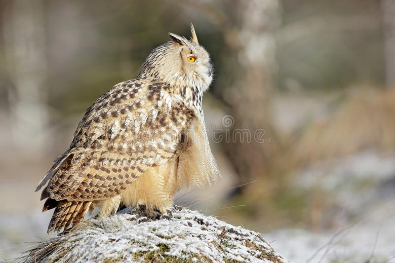Eastern Siberian Eagle Owl, Bubo bubo sibiricus, sitting on hillock with snow in the forest. Birch tree with beautiful animal. Bir royalty free stock photography