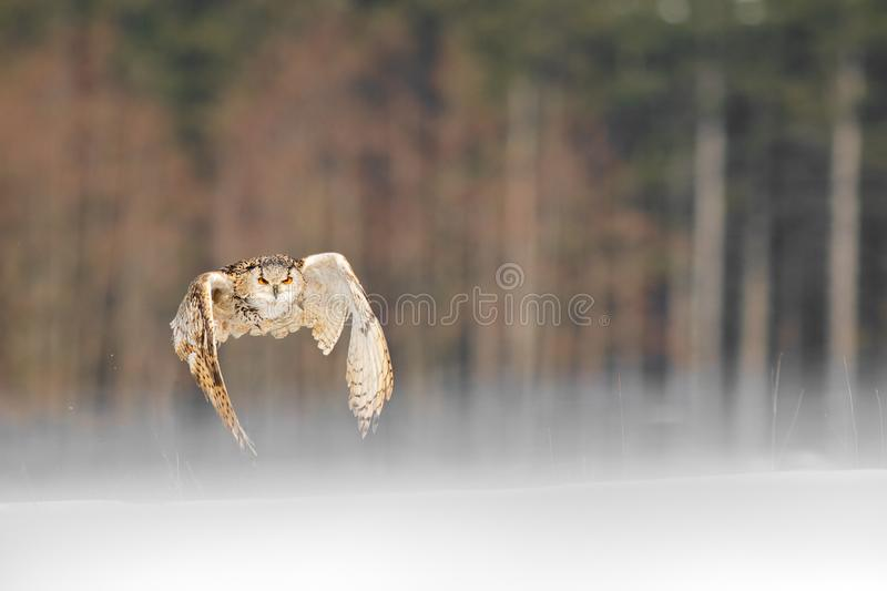 Eastern Siberian Eagle Owl flying in winter. Beautiful owl from Russia flying over snowy field. Winter scene with majestic rare ow royalty free stock photo
